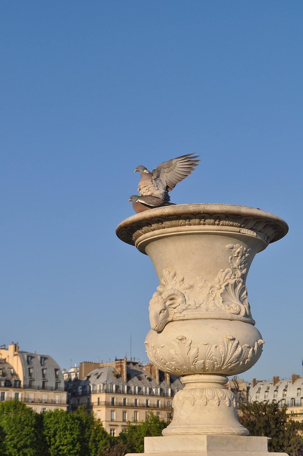Columba palumbus in Paris
