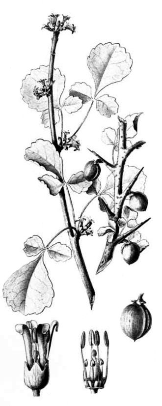 Commiphora africana - Commiphora africana