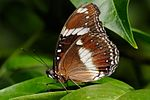 Common Eggfly02 - melbourne zoo.jpg