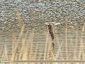 Common Greenshank (Tringa nebularia) (34637090155).jpg
