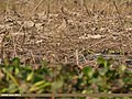 Common Snipe (Gallinago gallinago) & Green Sandpiper (Tringa ochropus) (34455777715).jpg