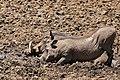 Common Warthogs (Phacochoerus africanus) (33086948245).jpg