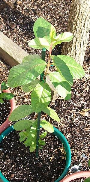 Psidium guajava - Common guava seedling, 14 months