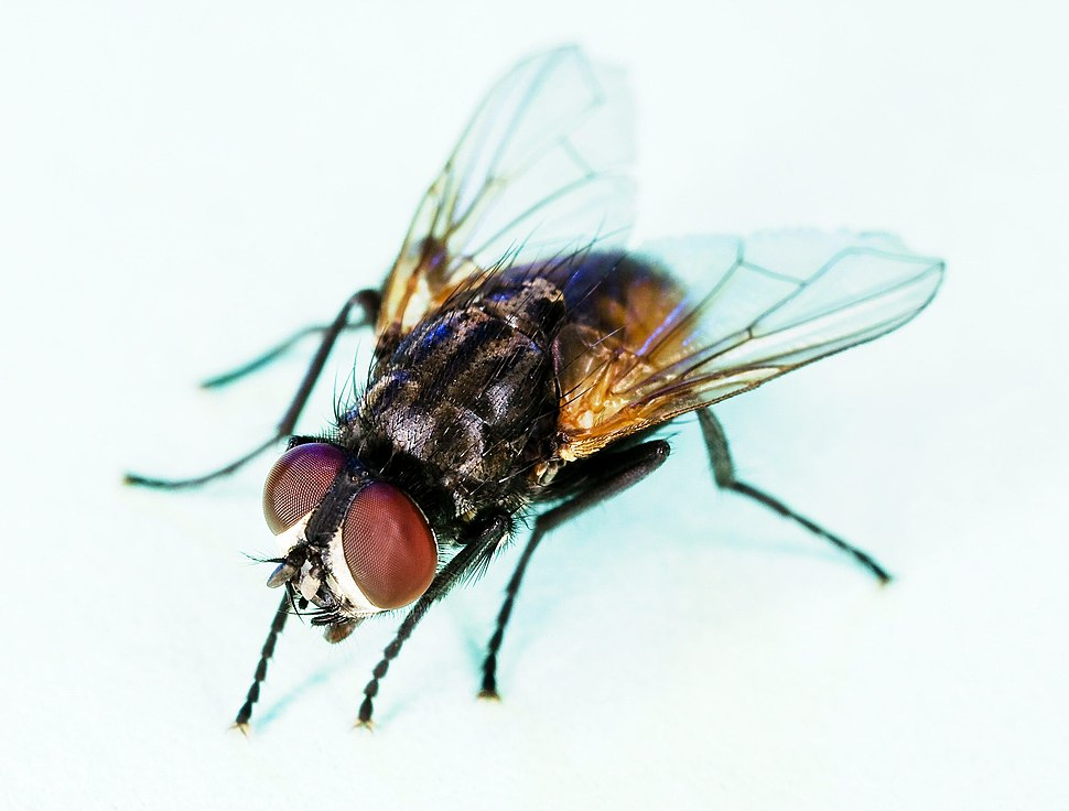 Common house fly, Musca domestica