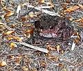 Common toad (Bufo bufo) Wohldorfer Wald.jpg