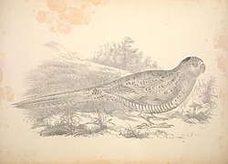 Companion to Gould's Handbook; or, Synopsis of the birds of Australia (Plate 53) (6797541250).jpg
