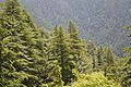 Coniferous Forest - Green Valley 2014-05-08 1606.JPG