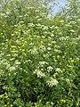 Conium maculatum plant (10).jpg
