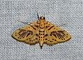 Conogethes sp. (Crambidae- Spilomelinae) (4184374865).jpg