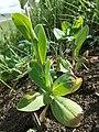 Conringia orientalis sl44.jpg