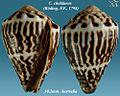 Conus chaldaeus 1.jpg
