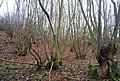Coppiced trees, The Chestnut - geograph.org.uk - 1612749.jpg