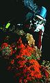 Coral on oil platform leg.jpg