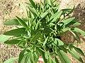 Coreopsis grandiflora 02.jpg