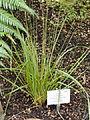 Cortaderia richardii - Palmengarten Frankfurt - DSC01920.JPG