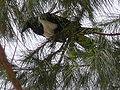 Corvus albus 0008.jpg