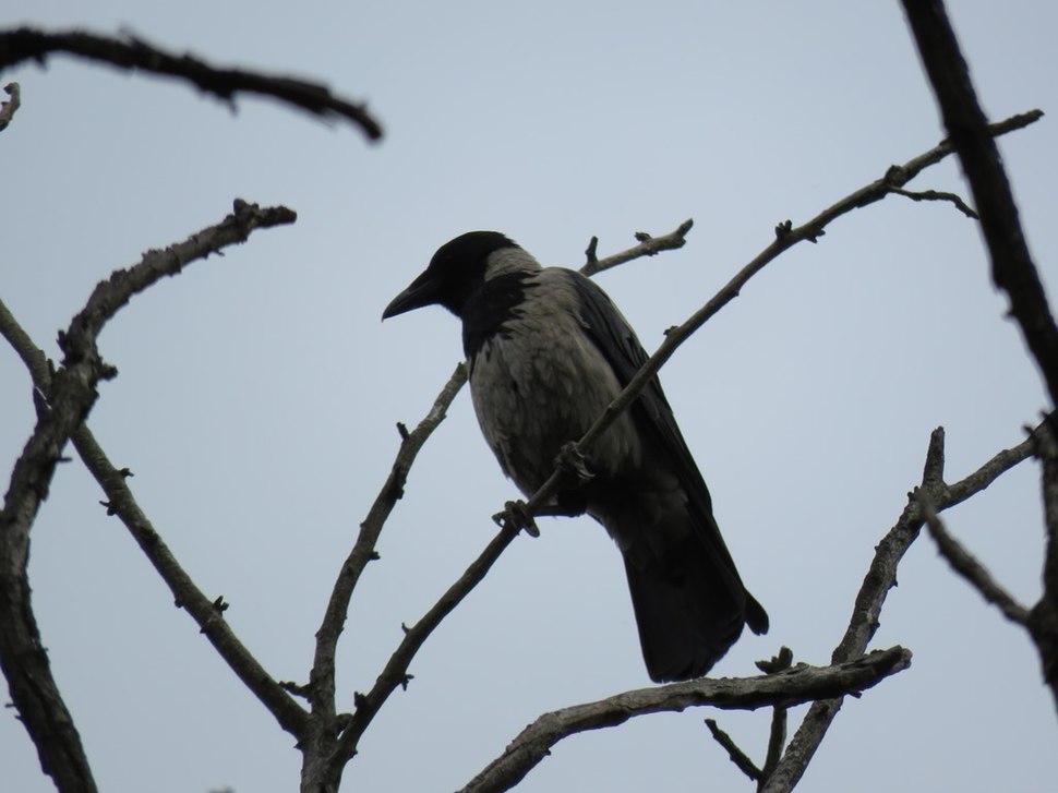 Corvus cornix5