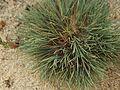 Corynephorus canescens plant (1).jpg