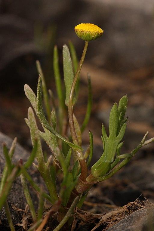 Cotula coronopifolia 7775