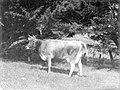 Cow in a field (AM 86304-1).jpg