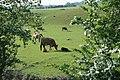 Cows at Marwood Farm - geograph.org.uk - 450748.jpg