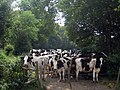 Cows near Bore Place - geograph.org.uk - 1381982.jpg