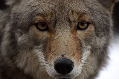 Coyote closeup.jpg