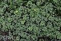 Creeping Buttercup (Ranunculus repens) - Lark Harbour, Newfoundland 2019-08-18.jpg