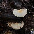 Crepidotus mollis 31156172.jpg