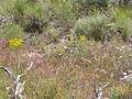 Crepis acuminata (4045139767).jpg