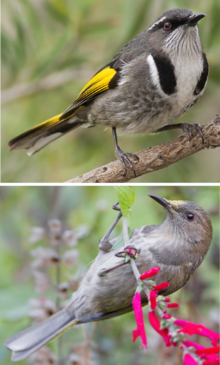 Crescent Honeyeater male and female.png