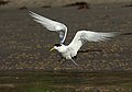 Crested Tern (Thalasseus bergii) (33589468123).jpg