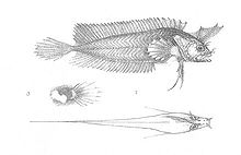 Cristiceps axillaris (Discoveries in Australia).jpg