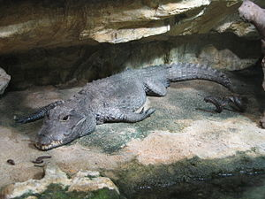 Crocodile nain aquarium porte dorée Paris.JPG