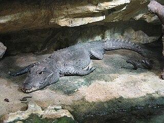 Dwarf crocodile Species of reptile