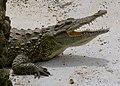 Crocodylus - Crocodile - Krokodil - 02.jpg