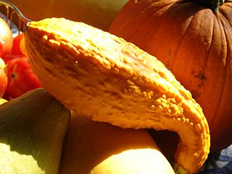Crookneck squash - Crookneck squash along with other types of squash