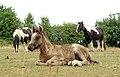 Crymlyn Bog - horses.jpg