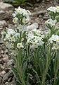 Cryptantha flavoculata 10.jpg