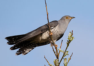 Common cuckoo - Image: Cuculus canorus vogelartinfo chris romeiks CHR0791 cropped