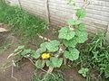 Cucurbita moschata (zapallo espontáneo) hábito guía principal una guía secundaria flor M02 antesis.JPG