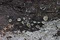 Cup fungus (35158402024).jpg