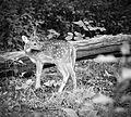 Cute Deer in Nagarhole forest.jpg