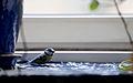 Cyanistes caeruleus Blaumeise Wien 2014.jpg