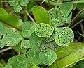 Cymadothea trifolii on White Clover Trifolium repens (27439522359).jpg