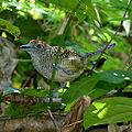 Cymbilaimus lineatus (female) -Panama-6-4c.jpg