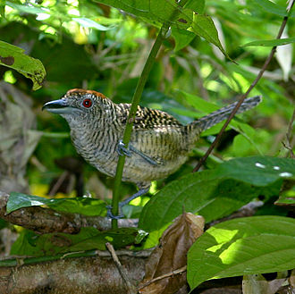 Fasciated antshrike - Female in Panama