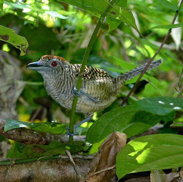 Ficheiro:Cymbilaimus lineatus (female) -Panama-6-4c.jpg