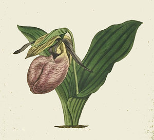 Moccasin Flower  (Cypripedium acaule)