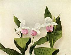 Cypripedium reginae WFNY-030.jpg